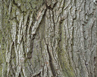 Rough tree bark 0058
