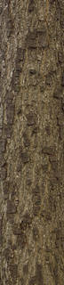 Rough tree bark 0059