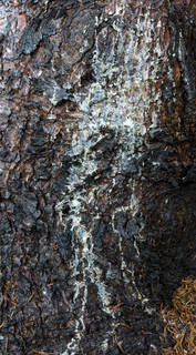 Rough tree bark 0061