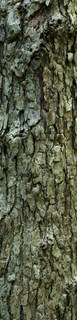 Rough tree bark 0063