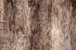 Rough tree bark 0066