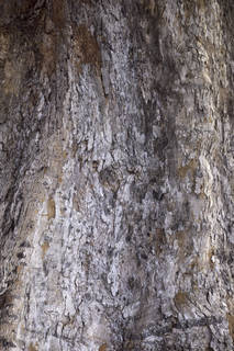 Rough tree bark 0067