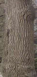 Rough tree bark 0074