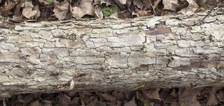 Rough tree bark 0075