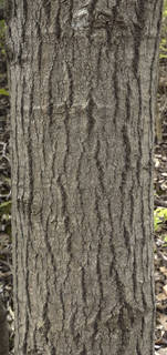 Rough tree bark 0078