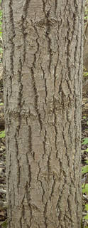 Rough tree bark 0079