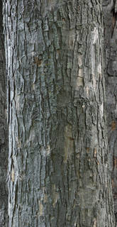 Rough tree bark 0080