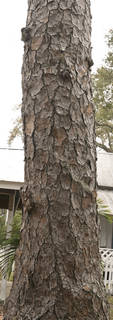 Rough tree bark 0082