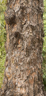 Rough tree bark 0084