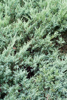 Shrubs and bushes 0006