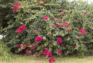 Shrubs and bushes 0036