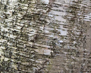 Smooth tree bark 0020