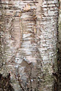 Smooth tree bark 0021