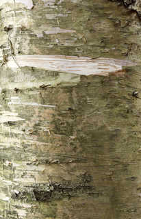 Smooth tree bark 0024