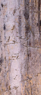 Smooth tree bark 0033