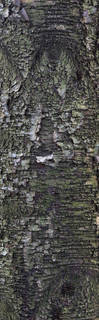 Smooth tree bark 0038