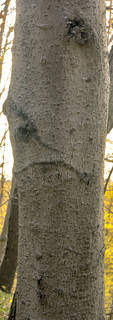 Smooth tree bark 0047