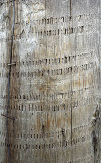 Smooth tree bark 0051