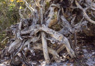 Tree roots and stumps 0036