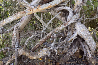 Tree roots and stumps 0038
