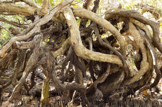 Tree roots and stumps 0042