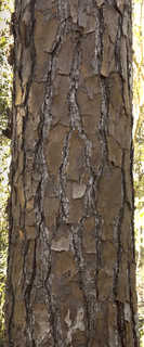 Tropical tree bark 0011