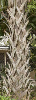 Tropical tree bark 0013