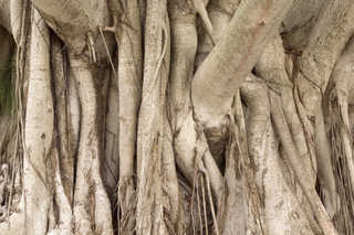Tropical tree bark 0014