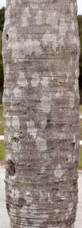 Tropical tree bark 0015