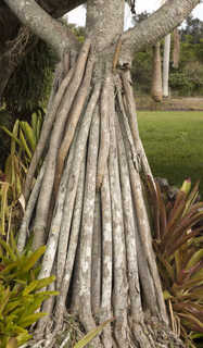 Tropical tree bark 0018