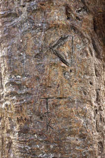 Tropical tree bark 0021