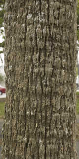 Tropical tree bark 0030