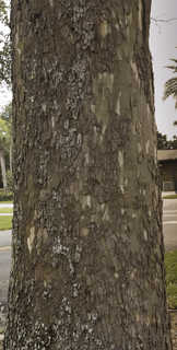 Tropical tree bark 0031