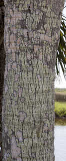 Tropical tree bark 0036