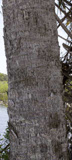 Tropical tree bark 0038