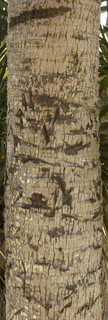 Tropical tree bark 0042