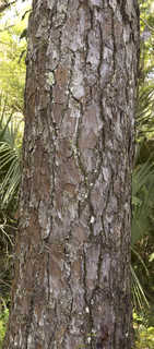 Tropical tree bark 0045