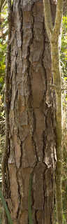 Tropical tree bark 0046