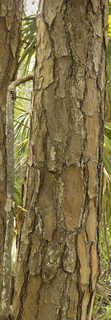 Tropical tree bark 0048