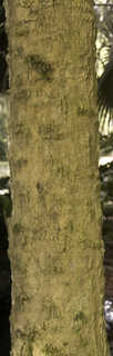 Tropical tree bark 0051