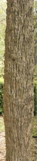 Tropical tree bark 0057