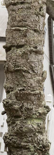 Tropical tree bark 0072