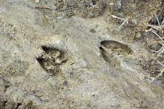 Footprints and animal tracks 0002