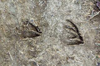 Footprints and animal tracks 0005