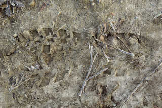 Footprints and animal tracks 0039