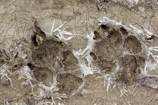 Footprints and animal tracks 0041