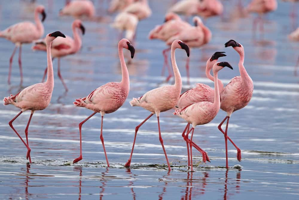Visit Lake Nakuru in Kenya and see the flamingos