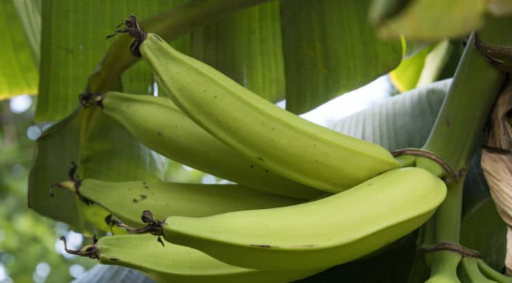 Can You Cook Green Plantains?