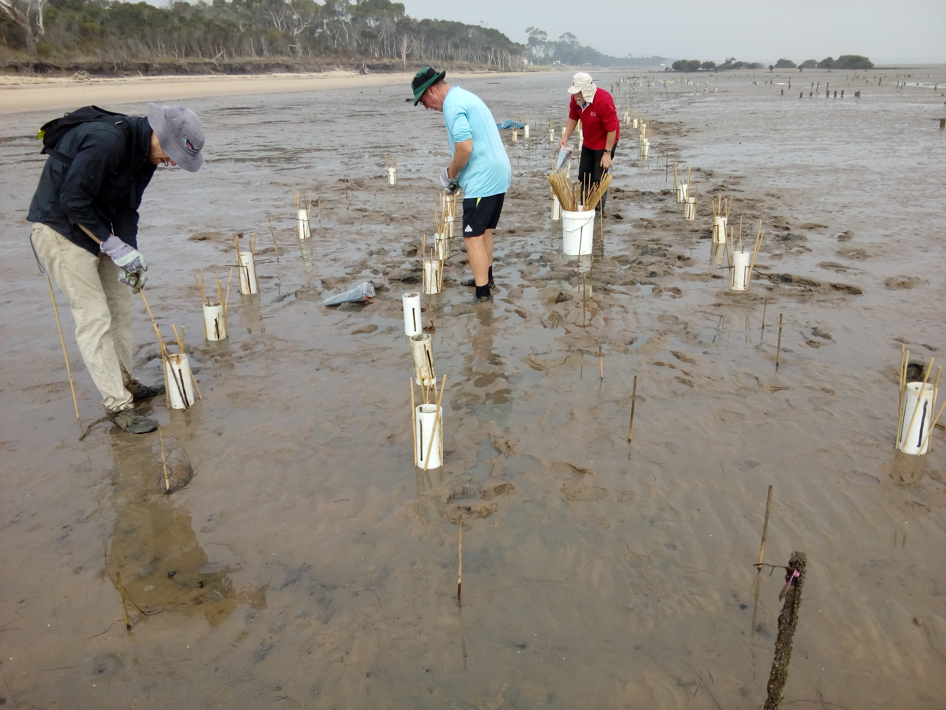 On the mudflats of Western Port, hope is being planted