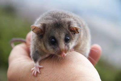 Geneticists weave possum magic to bring a species back from the brink